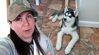 husky-puppy-learning-it-s-okay-to-be-alone