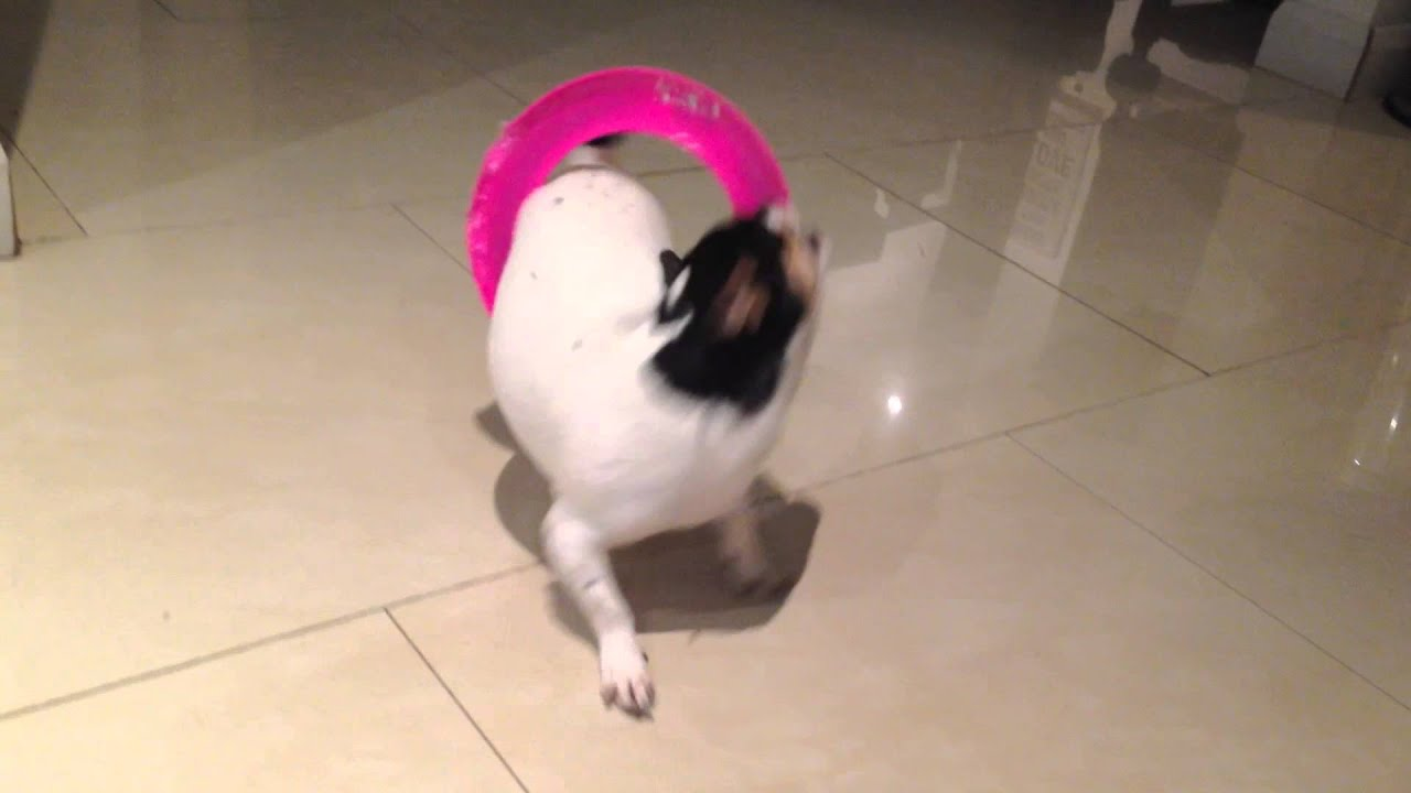 Dog fail: Coco VS the frisbee
