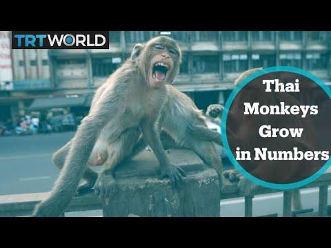 Thai monkeys grow in numbers amid virus pandemic - TRT World