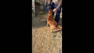 我が家のわんちゃん甲斐犬   有名な赤虎のカイです。