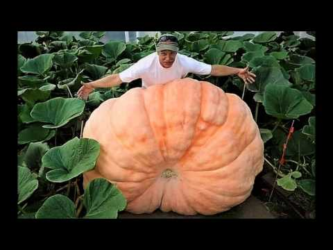 Top 10 Biggest fruit and Vegetable in World. part-1. The Rafiq Show