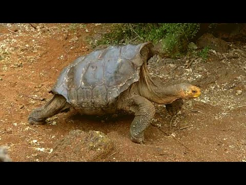 This Lothario Tortoise Just Saved His Entire Species From Extinction   And How He Did It Is Heroic