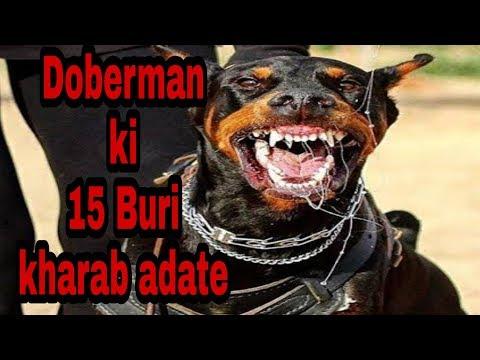 Doberman ki 15 kharab Aadatee (problems )  dogs biography