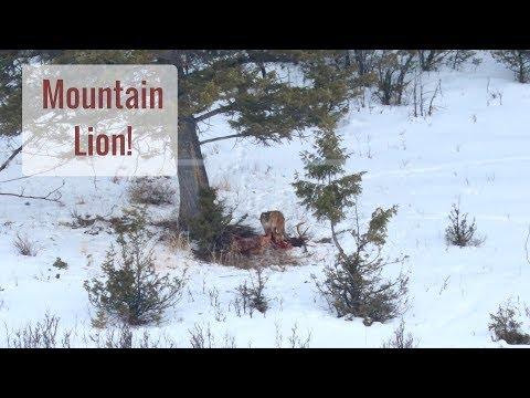 Wonderful Wyoming Wildlife - Mountain Lion Feeding on Elk Carcass