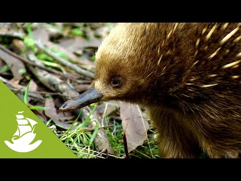 The Monotremes: mammals that lay eggs