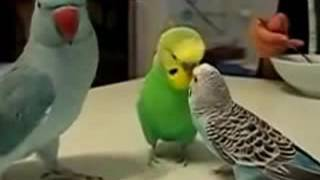 Смешные попугаи!Мега прикол!Ржач!Смотреть всем!