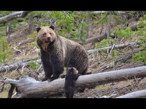 BREAKING: Yellowstone Grizzly Recovered and Delisted