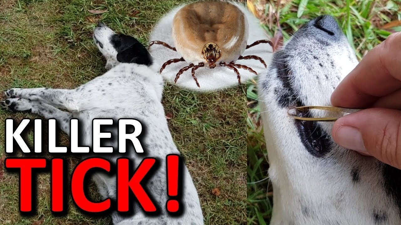 Dog tick removal