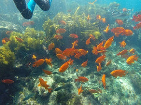 Catalina Island, California Snorkeling (With Music/Fish ID's) GoPro Hero 3+ HD