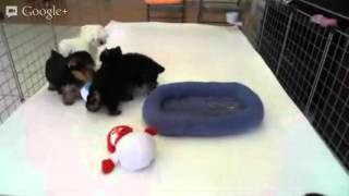 Star Yorkie Kennel - Puppy Playtime: Male Yorkies & Female Maltese