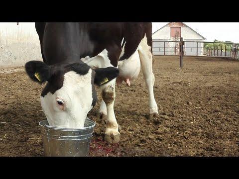 ЧТО нужно КОРОВЕ сразу после родов? (Энергетики). Energy drinks cow after birth.