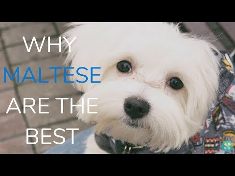 Why Maltese Are The Best