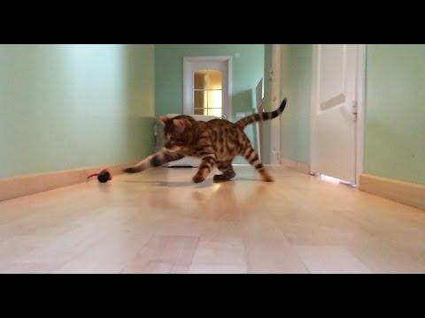 Bengal cat hunts mouse like real predator