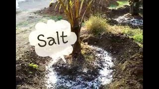 Taking Care of Coconut tree || with salt