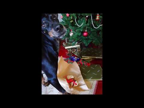 Chester the Manchester Terrier unpacking Christmas presents