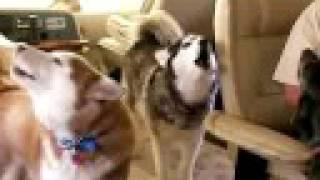 Howling Huskies And Weimaraner Huskys