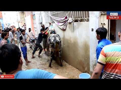 Professional Qasai | Cow Qurbani 2017 | Eid ul Adha | 02/09/2017