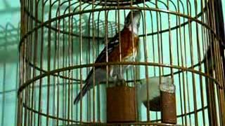 Kicau Mania | Suara Burung ANIS Cendana | Gacor Ngerol Volume Keras MANTAP