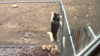 Siberian Husky Escape