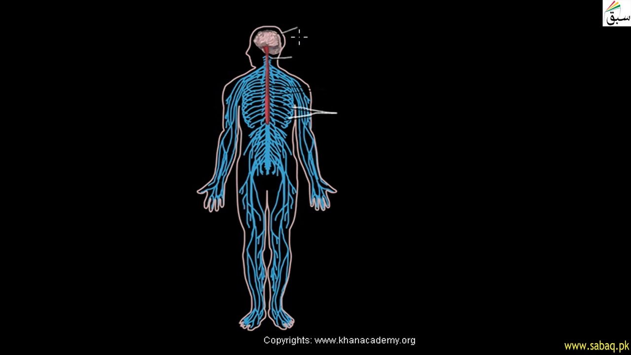 The nervous system - Stock Image - C008/2422 - Science