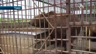 В Томске медведь оторвал руку женщину