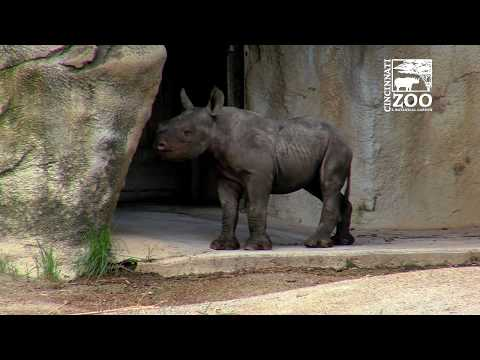 Black Rhino Calf Kendi 1st Time Out - Cincinnati Zoo