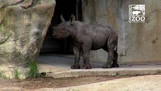 Black Rhino Calf Kendi 1st Time Out - Cincinnati Zoo
