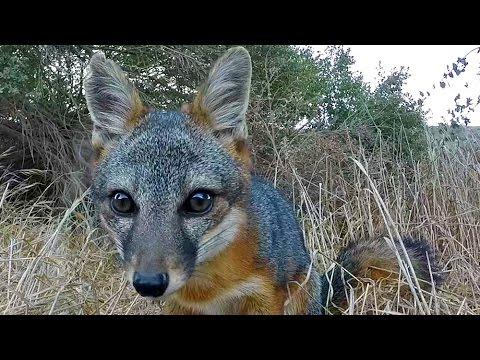 The Adorable Island Fox, Santa Rosa Island, Channel Islands National Park