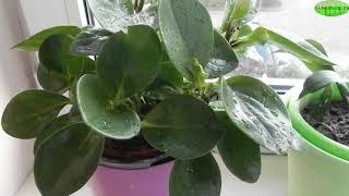БЛЕСК ЛИСТЬЕВ 🌿 ПОЛИРОЛИ ДОМАШНИЕ ИЛИ ПРОМЫШЛЕННЫЕ #полироль_для_блеска_растений #oldenburgru#276