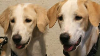 DOGS OBEYING OWNERS || DOG TRAINING || DOGS VIDEOS || CUTE DOGS || TUFFY AND LILY DOING HANDSHAKE.