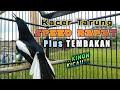 Kacer Tarung Speed Rapat Plus Tembakan  Mp3 - Mp4 Download