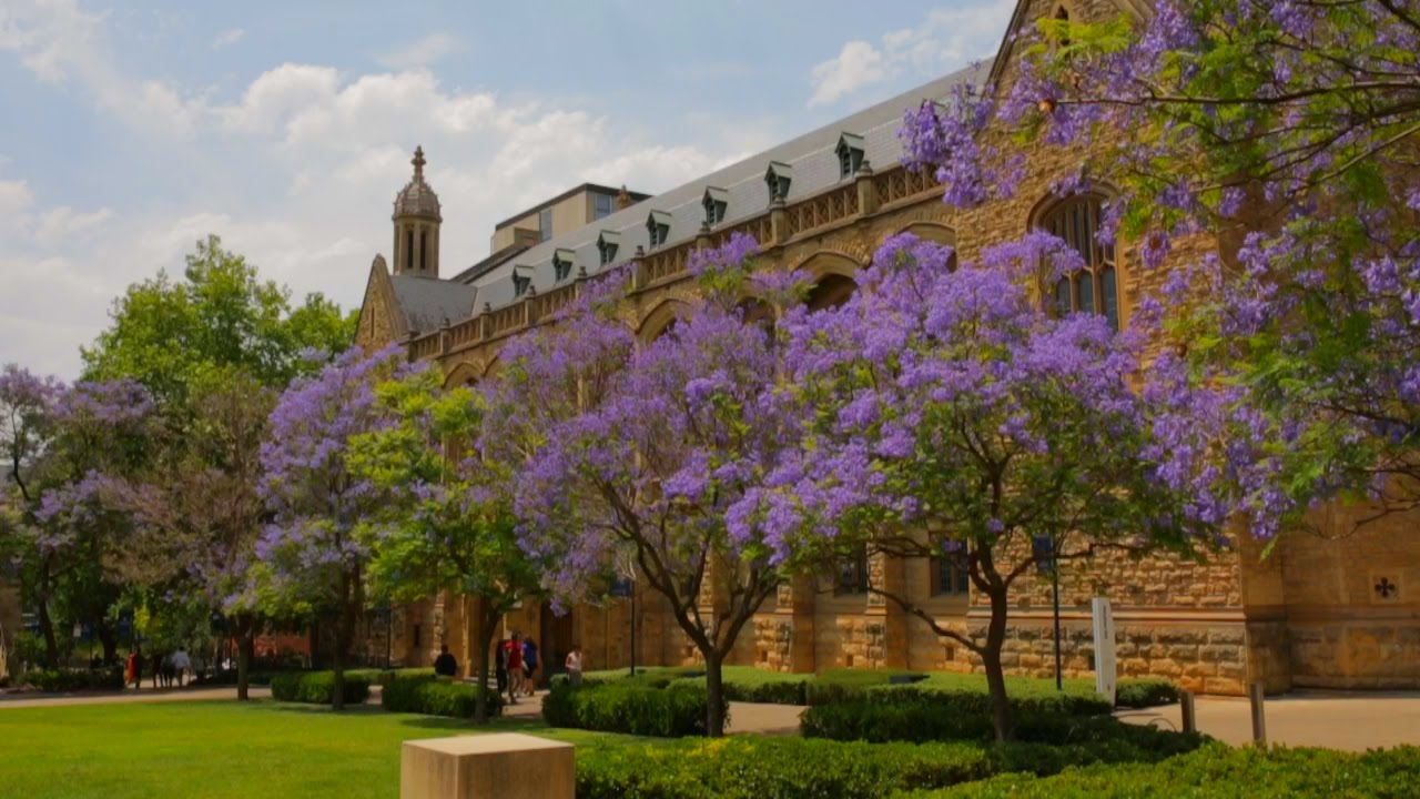 Jacarandas Beautiful Irresistible To Bees And A Sign Of Doom Youtube