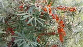Вот такая  крупная и вкусная облепиха растет возле Байкала .