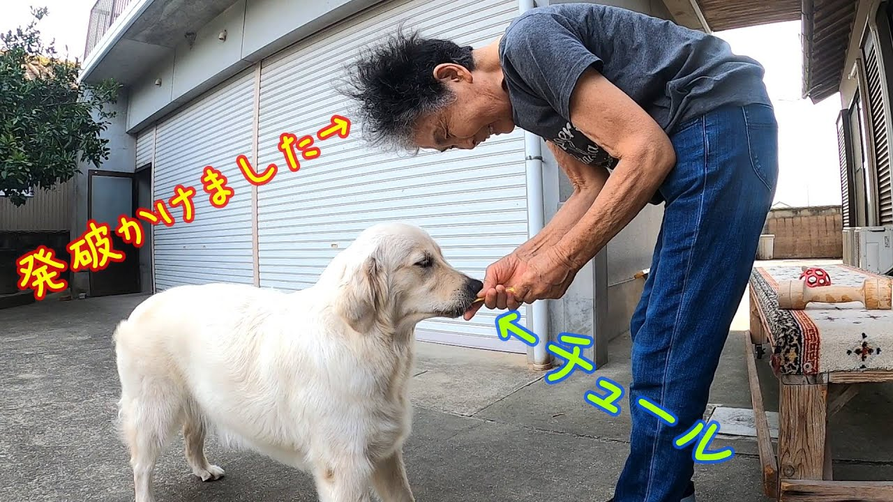 【ばあちゃんのしつけ方】たかが1本のチュ-ルをゲットするのも大変な犬www。 ゴールデンレトリーバー GoldenRetriever