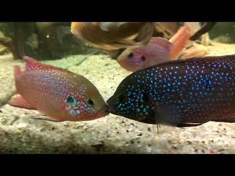 Боевой клинч. Два самца рыбки Хромис красавец дерутся за самку.