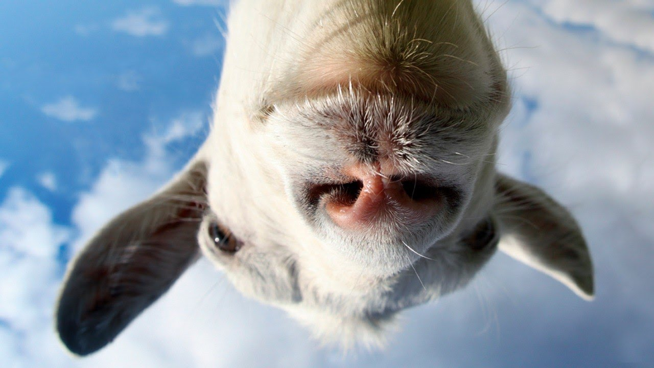 Funny Pictures Of Goats Goat Simulator ...