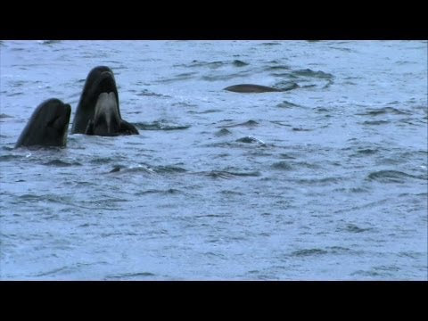 Pilot Whales in Trouble  Hebrides: Islands on the Edge  Episode 3 P  BBC Two