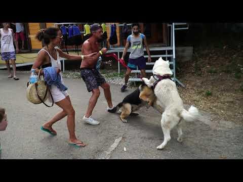 Pelea Perruna entre un cachorro Pastor Aleman y un Akita adulto