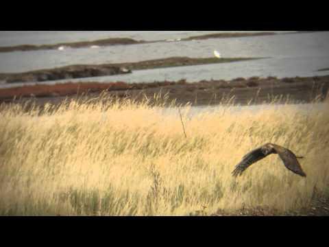Female hen harrier (ring tail) - RSPB Havergate Island
