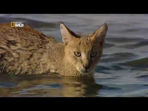 Piccoli felini, Grandi predatori