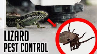 House Training Lizards To Eat Spiders!