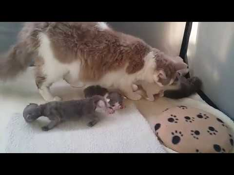 Laperm Kittens First Steps Youtube