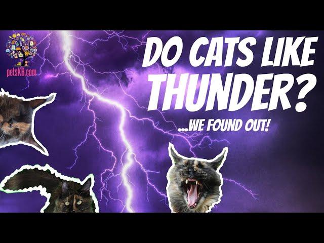 Do Maine Coons Like Thunder? (4K video)