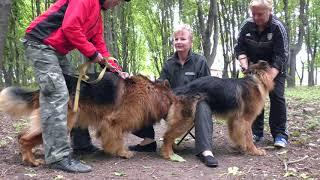 Длинношерстные Немецкие овчарки Дольф и Дагира. Long-haired German shepherds.