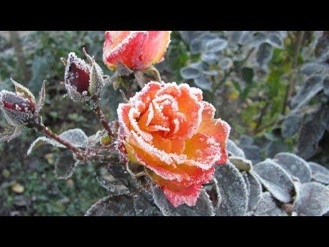 Как защитить розы от мышей зимой