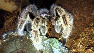 Tarantula Feeding HD - rosea vs dubia