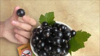 Номерная форма 6-14-145.  Шикарная смородина с шикарным размером ягоды!