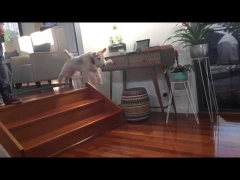 Desmond the Lakeland Terrier Launching Himself off Stairs