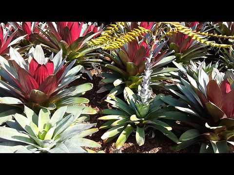 Bromeliad  Alcantarea Imperialis HD Video 02