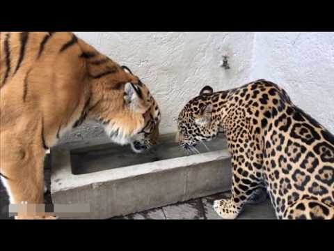 老虎與美洲虎體型大小直觀對比